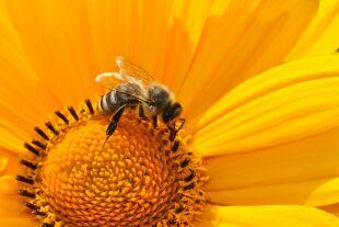 Biene - © Foto: Pixabay