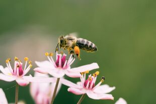 Biene_Aufklärung - © Aaron Burden/Unsplash
