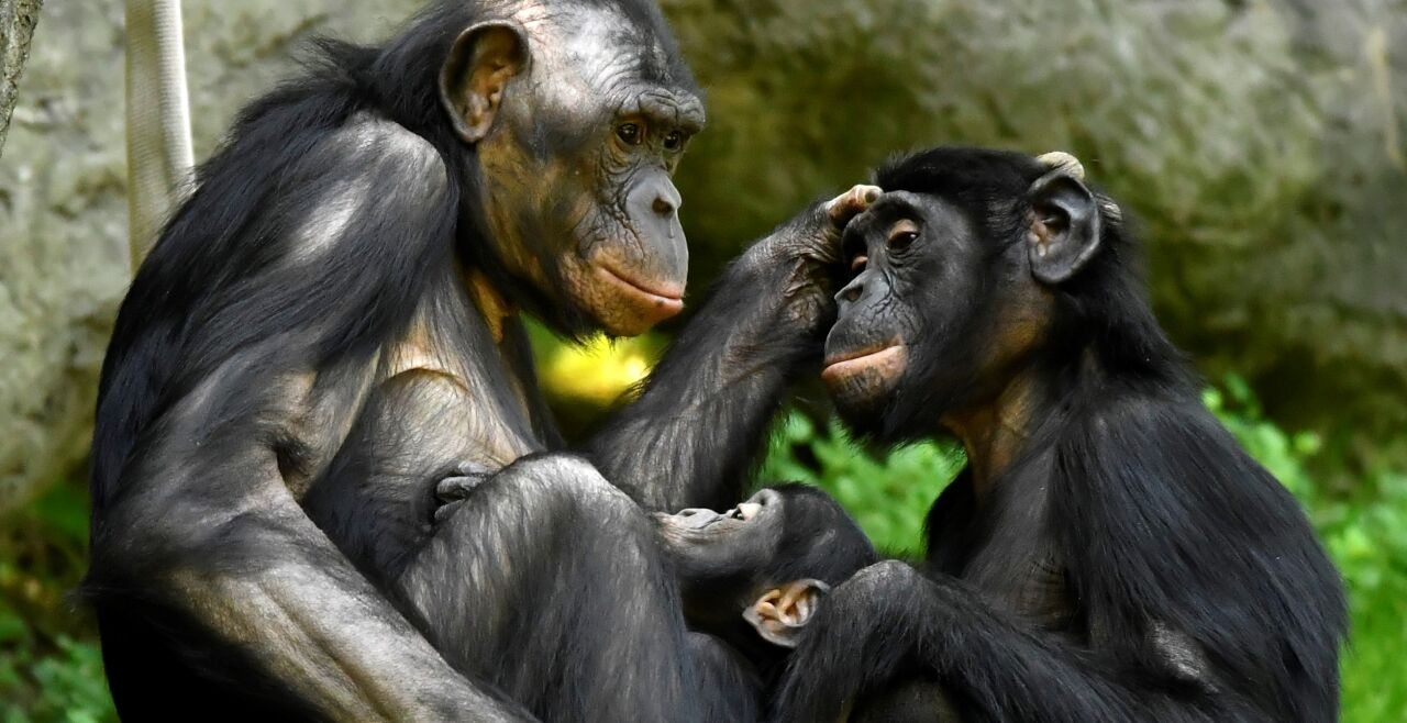 Bonobos - © iStock / Jeff McCurry