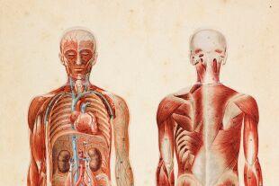 Anatomie - © Foto: iStock / Grafissimo