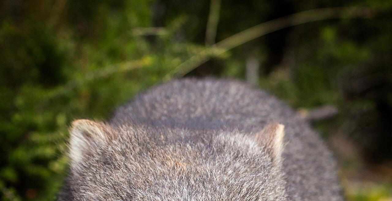 Wombat - © Foto: iStock / pelooyen