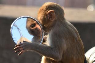 Spiegeltest - Menschenaffen wie Schimpansen und Orang-Utans können sich im Spiegel selbst erkennen. Bei Rhesusaffen lässt sich diese Fähigkeit zumindest trainieren (Bild: Makake im Spiegel eines Motorrads; Jaipur / Indien). - © APA / AFP / Dominique Faget