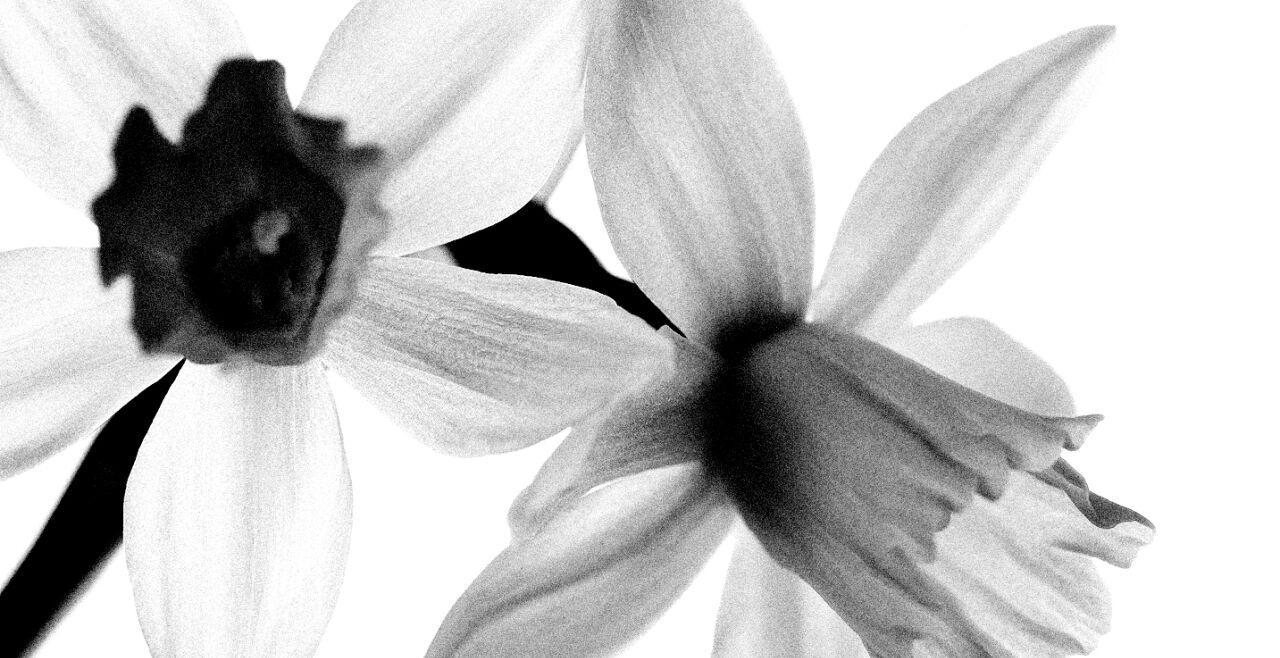 Narzisse - © Collage: Rainer Messerklinger (unter Verwendung eines Bildes von iStock/republica