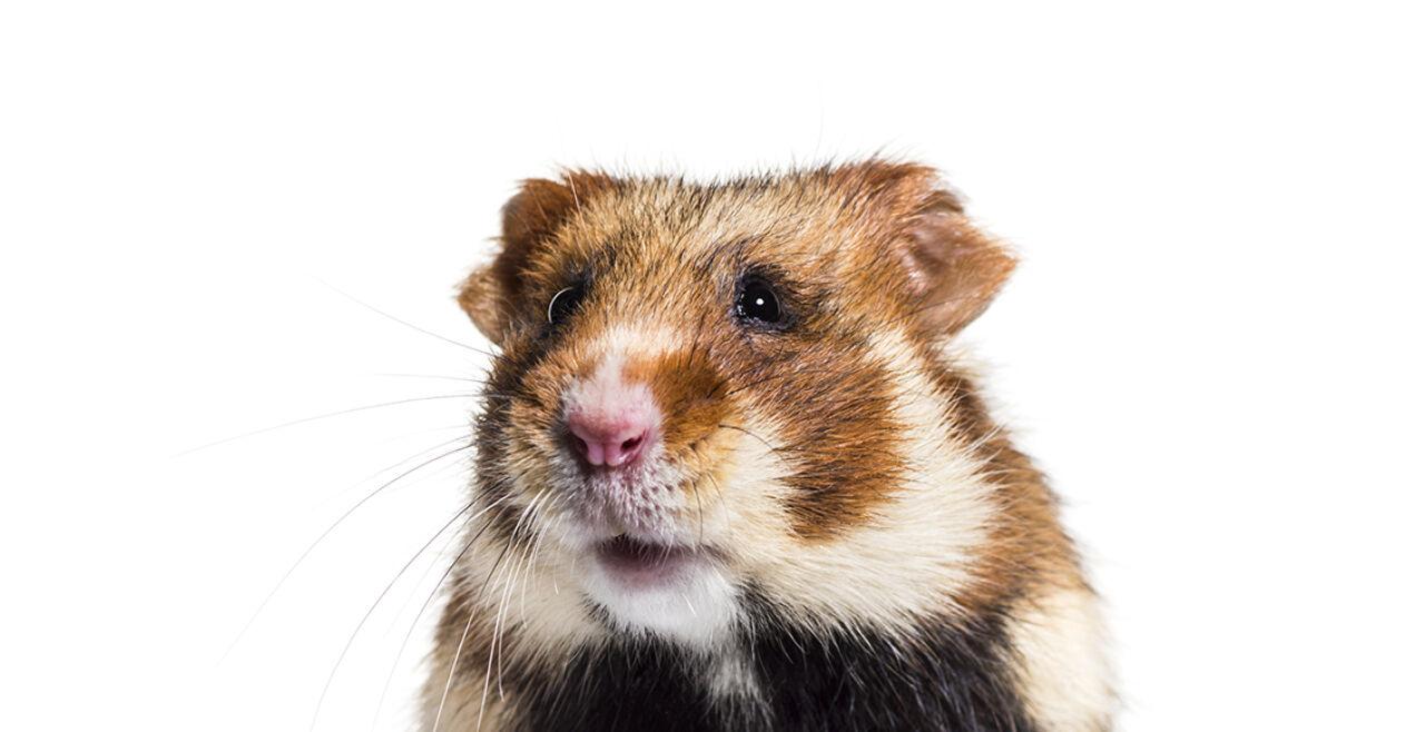 Hamster - © Foto: iStock/GlobalP