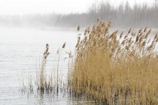 Schillfrohr - © Foto: iStockfoto
