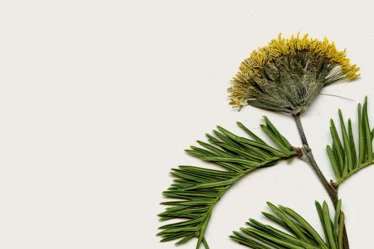 Gepresste Blume - ©  Collage: Rainer Messerklinger