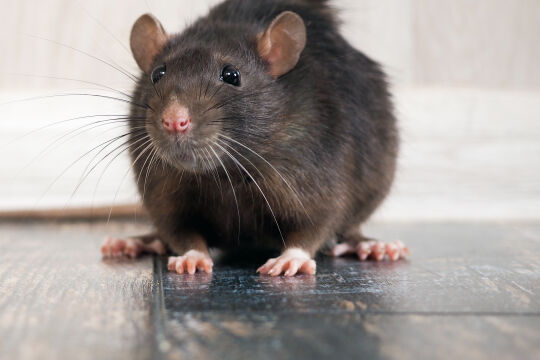 Rattenporträt - © Foto: iStock / kozorog