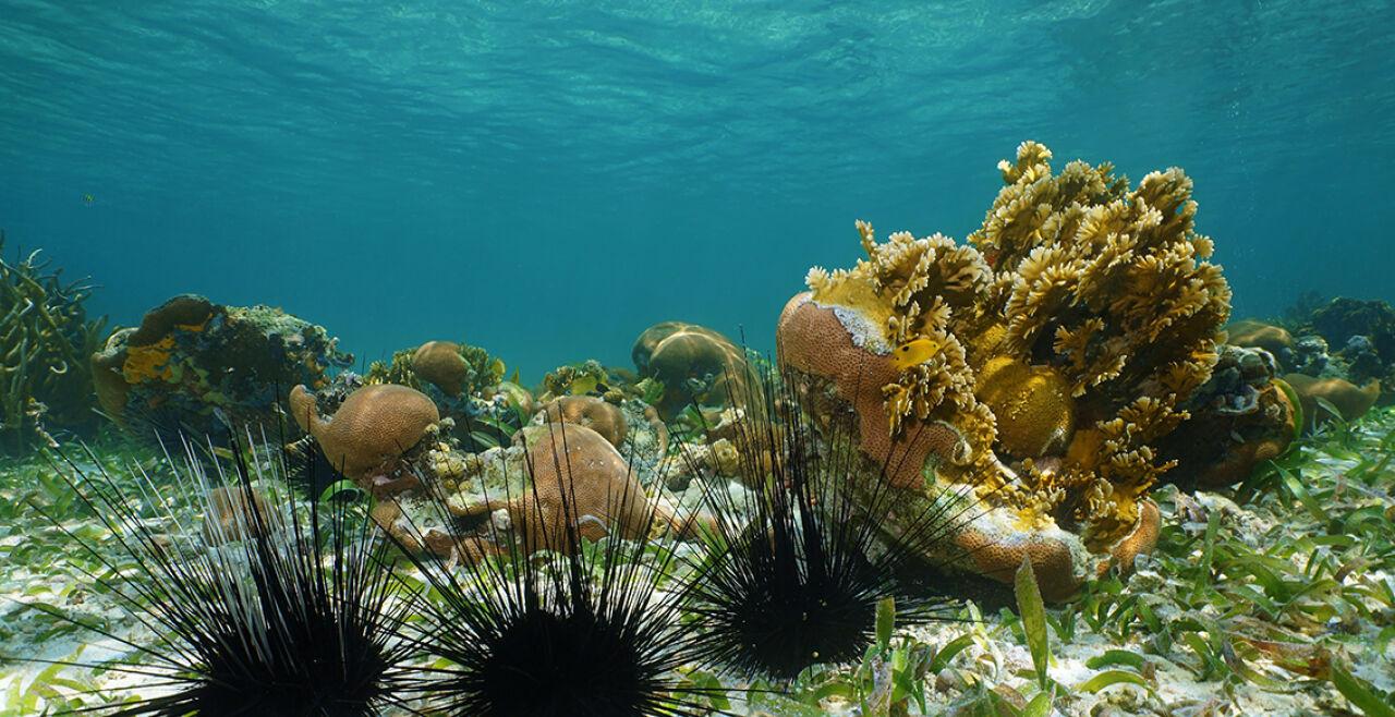Seeigel - © Foto: iStock/Damocean