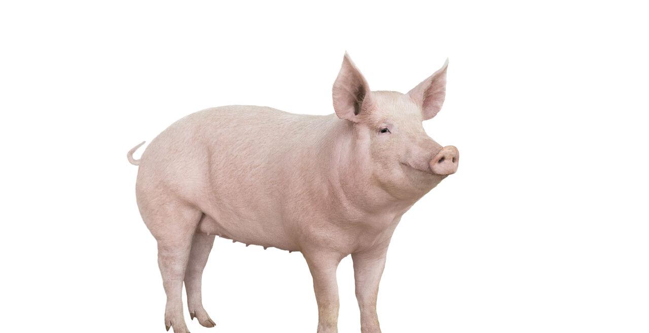 Schwein - © Foto: iStock / bazilfoto