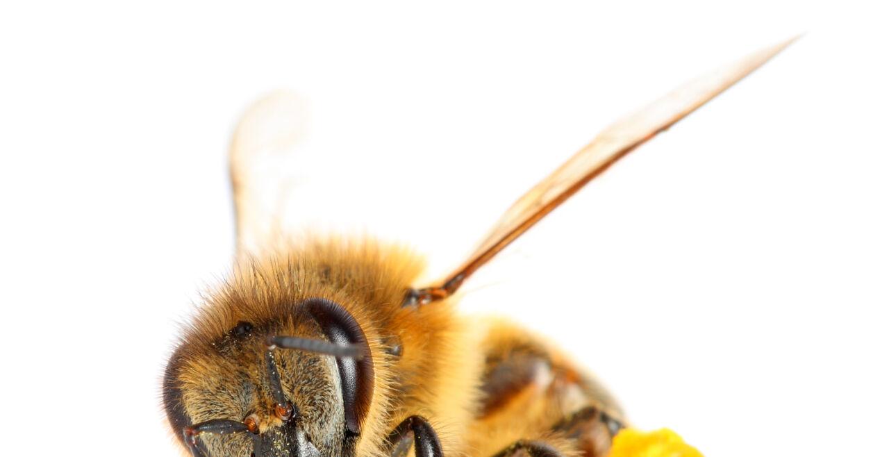 Honigbiene - © iStock/ Antagain