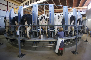 Weißes Gold - <strong>Milchindustrie</strong><br /> Während eine Milchkuh vor 70 Jahren rund fünf Liter Milch pro Tag gab, sind es heute 20 – bei einzelnen Kühen gar 50 Liter täglich (im Bild: ein milchproduzierender Großtrieb in A Coruña im spanischen Galizien mit mehr als 300 Kühen). - © Getty Images / Xurxo Lobato / Cover