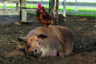 """Ziemlich beste Freunde - Schwein """"Emma"""" und Hahn """"Greasy"""" im kalifornischen Öko-Traum. - © Foto: Thimfilm"""