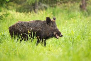 Wildschwein - © Foto: iStock/JMrocek