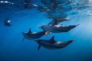 Delfinschule - © Foto: iStock/Nuture