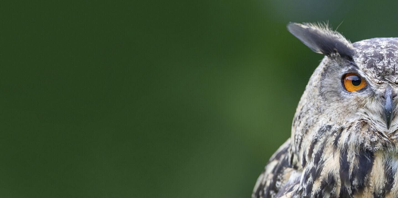 Eule - © Foto: iStock / Henk Bogaard