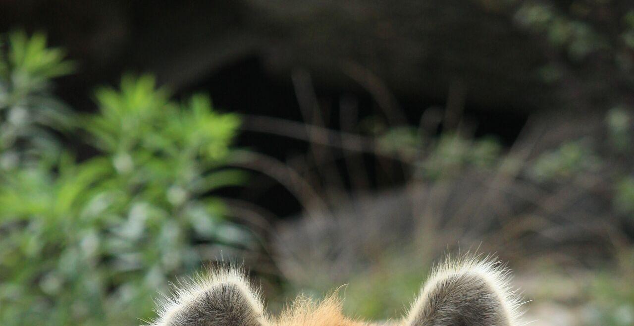 Hyäne - © Foto: Wikipedia/ Appaloosa (cc by 3.0)