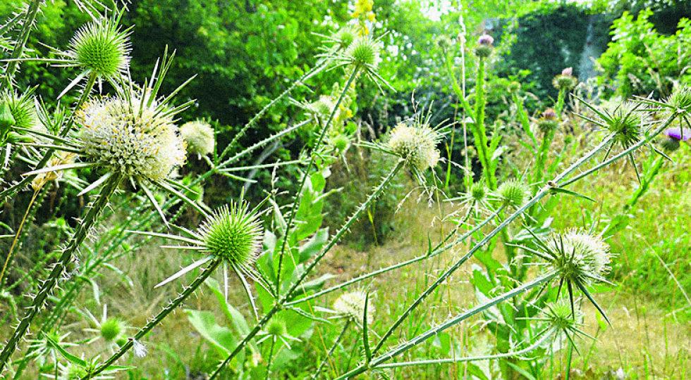 Sardische Karden - Die stacheligen Distelgewächse zählen zu den Lieblingspflanzen der beiden Landschaftsarchitekten.
