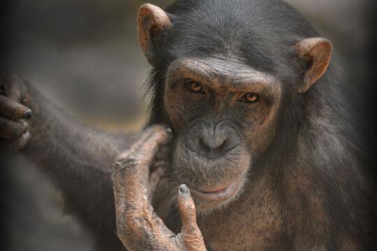 Schimpanse - © Foto: Anja Krug-Metzinger Filmproduktion GmbH