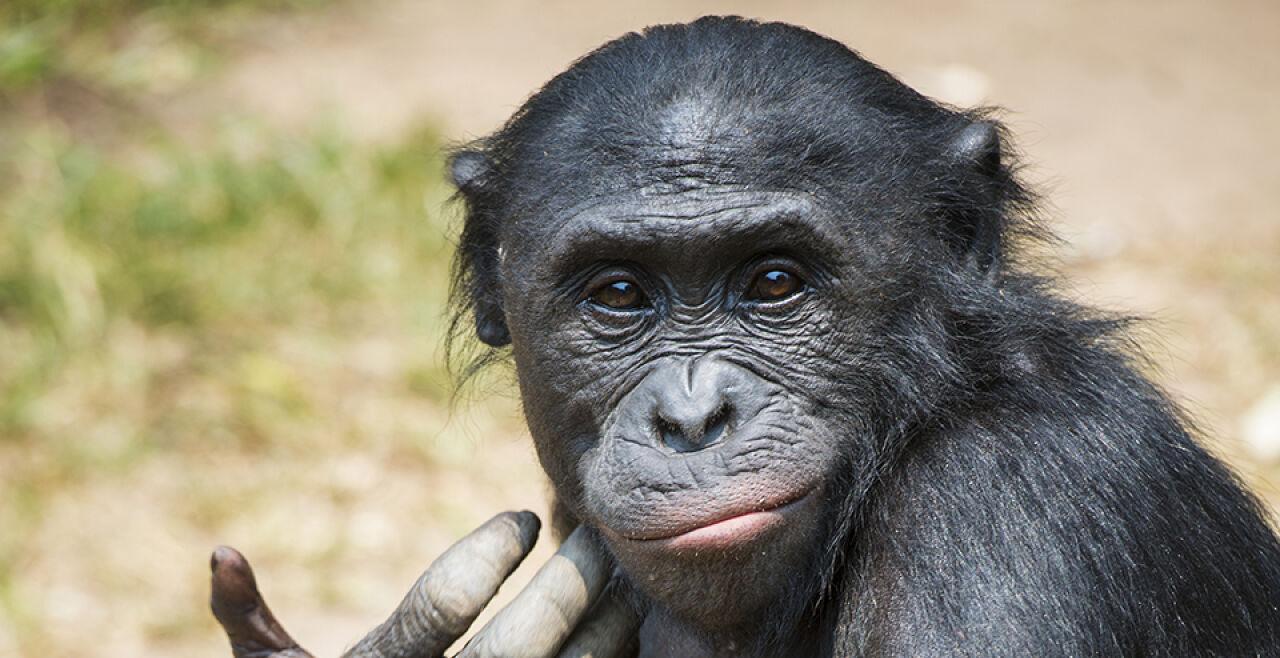 Bonobo - © Foto: iStock/guenterguni