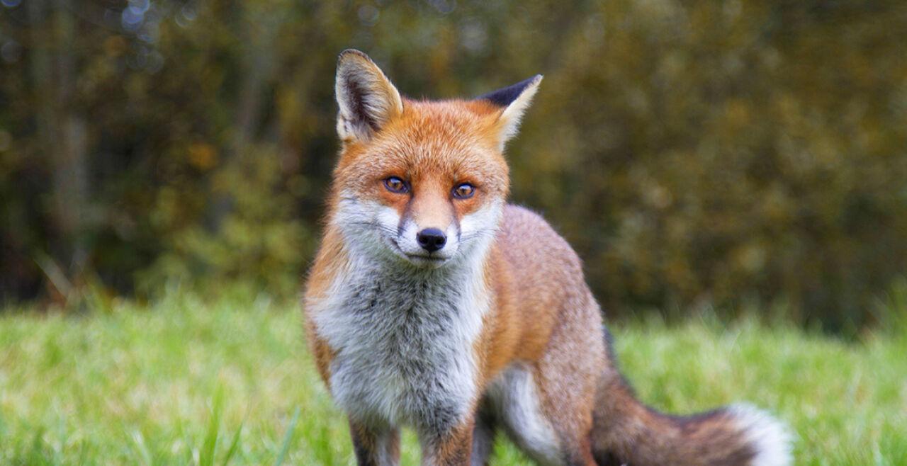 Fuchs - © Foto: iStock/ands456