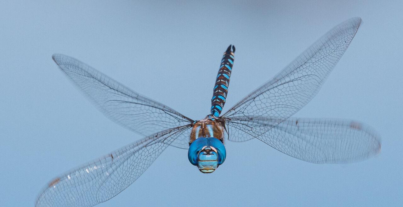 Libelle - © Foto: iStock / Oleksandr Bushko