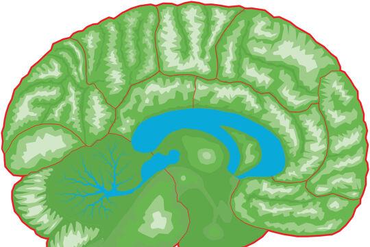 Gehirn - © Illustration: Rainer Messerklinger