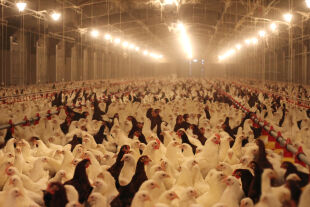 Hühnerfarm - © Foto: iStock / branex